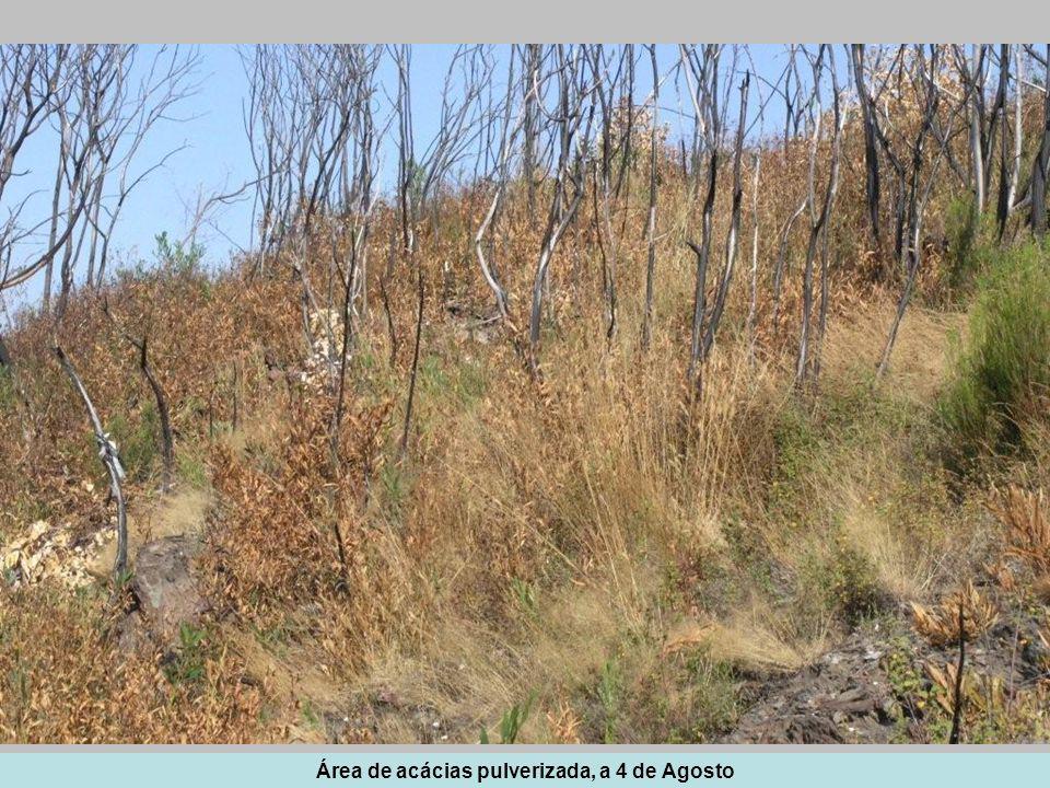 Área de acácias pulverizada, a 4 de Agosto