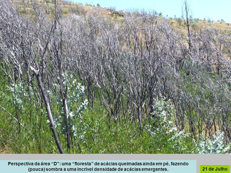 Perspectiva da área D: uma floresta de acácias queimadas ainda em pé, fazendo (pouca) sombra a uma incrível densidade de acácias emergentes. 21 de Jul