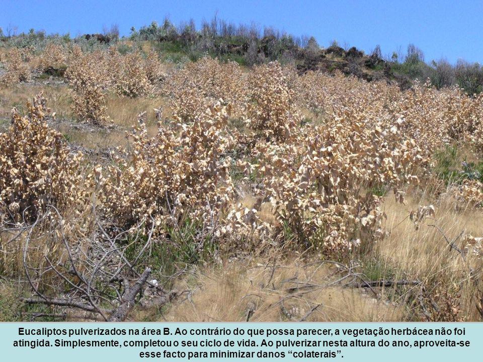 Eucaliptos pulverizados na área B. Ao contrário do que possa parecer, a vegetação herbácea não foi atingida. Simplesmente, completou o seu ciclo de vi