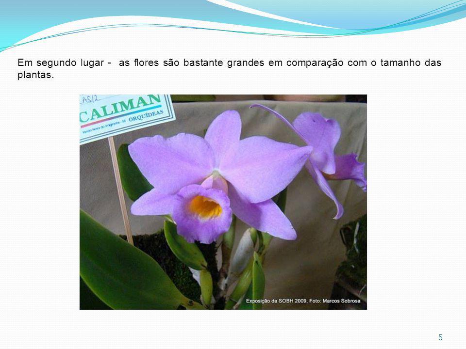 Hadrolaelia praestans Hadrolaelia praestans var.alba Hadrolaleia praestans var.
