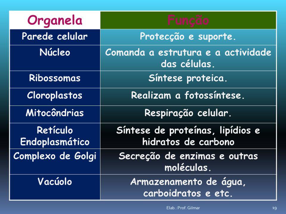 OrganelaFunção Parede celularProtecção e suporte. NúcleoComanda a estrutura e a actividade das células. RibossomasSíntese proteica. CloroplastosRealiz
