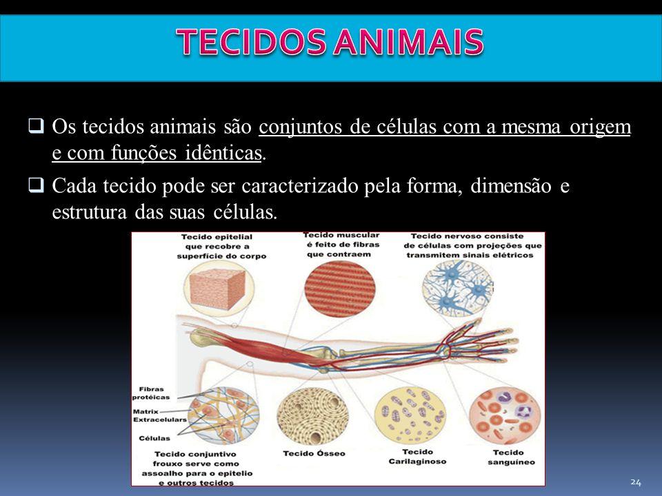 Elab.: Prof. Gilmar 24 Os tecidos animais são conjuntos de células com a mesma origem e com funções idênticas. Cada tecido pode ser caracterizado pela