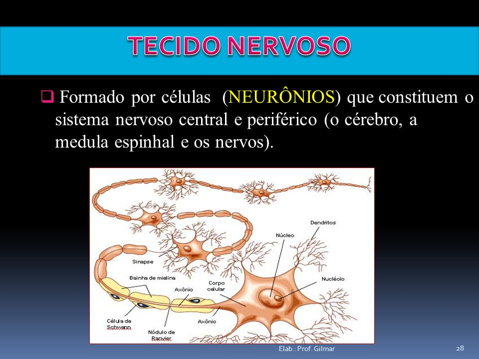 Elab.: Prof. Gilmar 28 Formado por células (NEURÔNIOS) que constituem o sistema nervoso central e periférico (o cérebro, a medula espinhal e os nervos