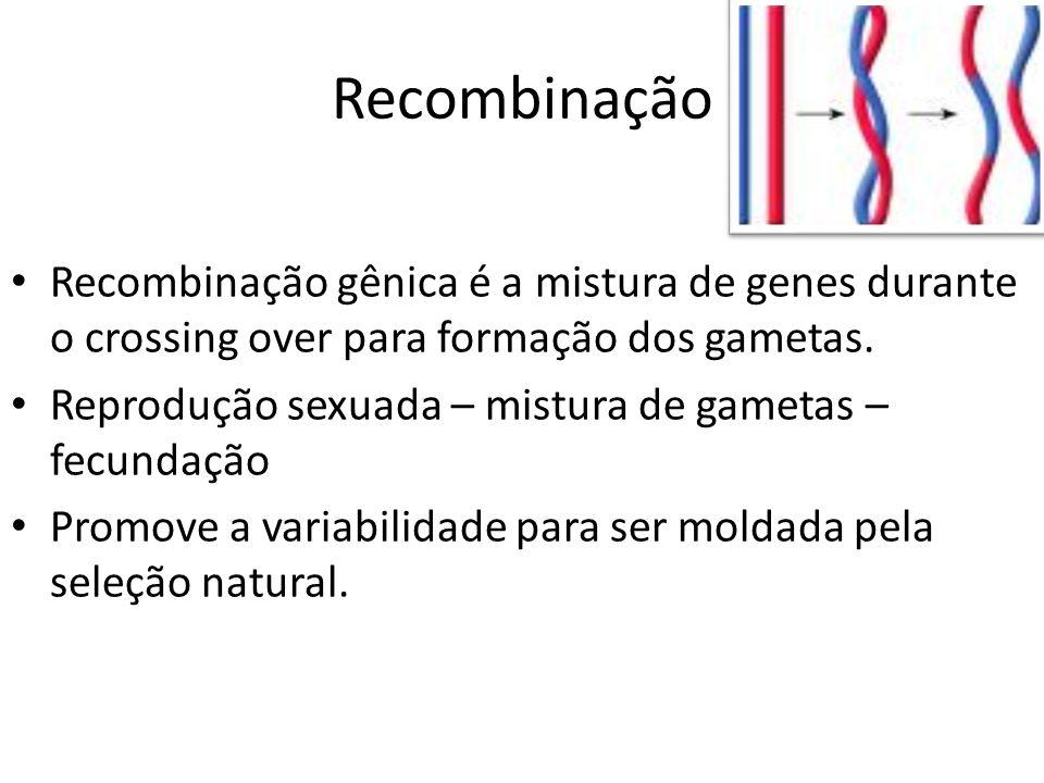 Recombinação Recombinação gênica é a mistura de genes durante o crossing over para formação dos gametas. Reprodução sexuada – mistura de gametas – fec