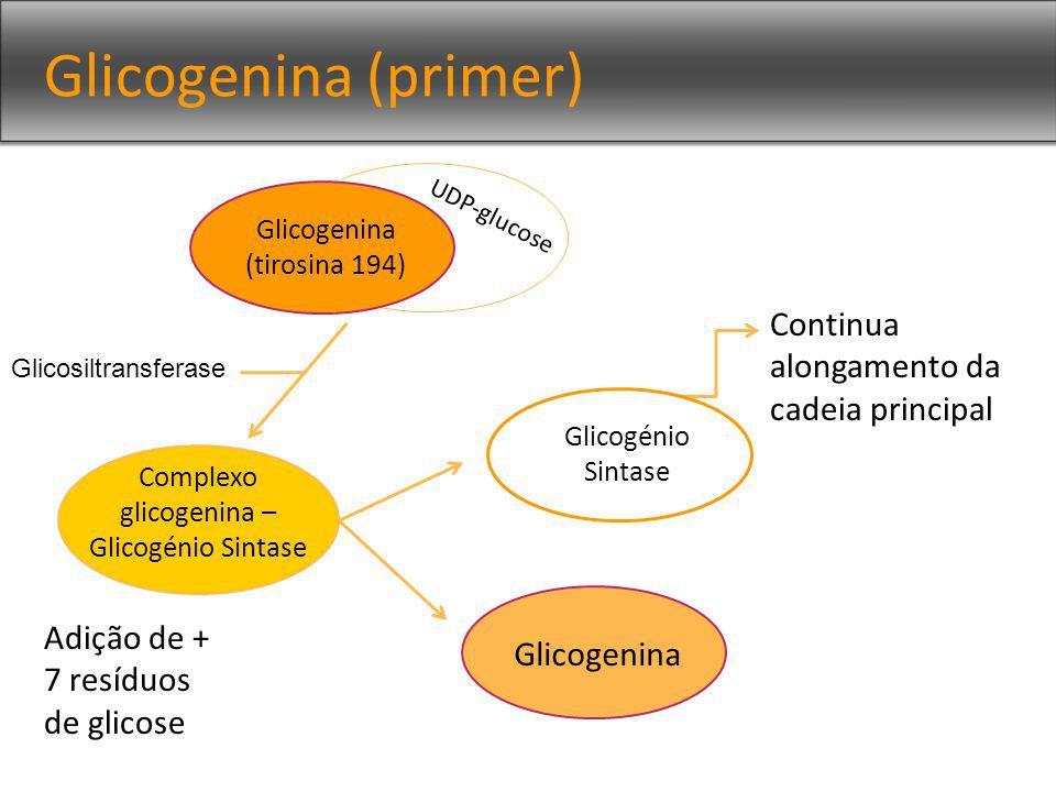 Glicogenina (primer) Glicogenina (tirosina 194) UDP-glucose Complexo glicogenina – Glicogénio Sintase Adição de + 7 resíduos de glicose Glicosiltransferase Glicogenina Continua alongamento da cadeia principal v Glicogénio Sintase