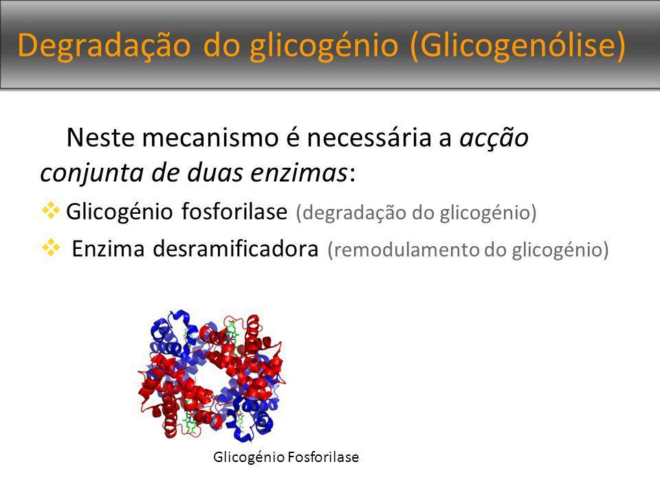 Degradação do glicogénio (Glicogenólise) Neste mecanismo é necessária a acção conjunta de duas enzimas: Glicogénio fosforilase (degradação do glicogénio) Enzima desramificadora (remodulamento do glicogénio) Glicogénio Fosforilase