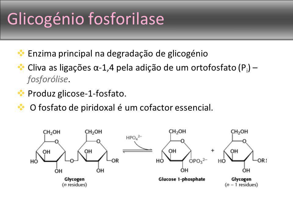 Glicogénio fosforilase Enzima principal na degradação de glicogénio Cliva as ligações α-1,4 pela adição de um ortofosfato (P i ) – fosforólise. Produz