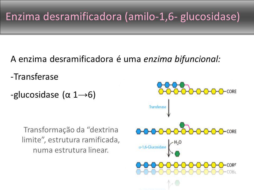 Enzima desramificadora (amilo-1,6- glucosidase) A enzima desramificadora é uma enzima bifuncional: -Transferase -glucosidase (α 1 6) Transformação da dextrina limite, estrutura ramificada, numa estrutura linear.