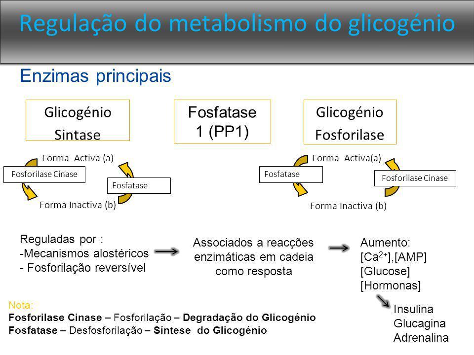 Regulação do metabolismo do glicogénio Glicogénio Sintase Glicogénio Fosforilase Forma Activa (a) Forma Inactiva (b) Fosfatase Fosforilase Cinase Nota: Fosforilase Cinase – Fosforilação – Degradação do Glicogénio Fosfatase – Desfosforilação – Síntese do Glicogénio Fosfatase 1 (PP1) Enzimas principais Reguladas por : -Mecanismos alostéricos - Fosforilação reversível Associados a reacções enzimáticas em cadeia como resposta Aumento: [Ca 2+ ],[AMP] [Glucose] [Hormonas] Insulina Glucagina Adrenalina