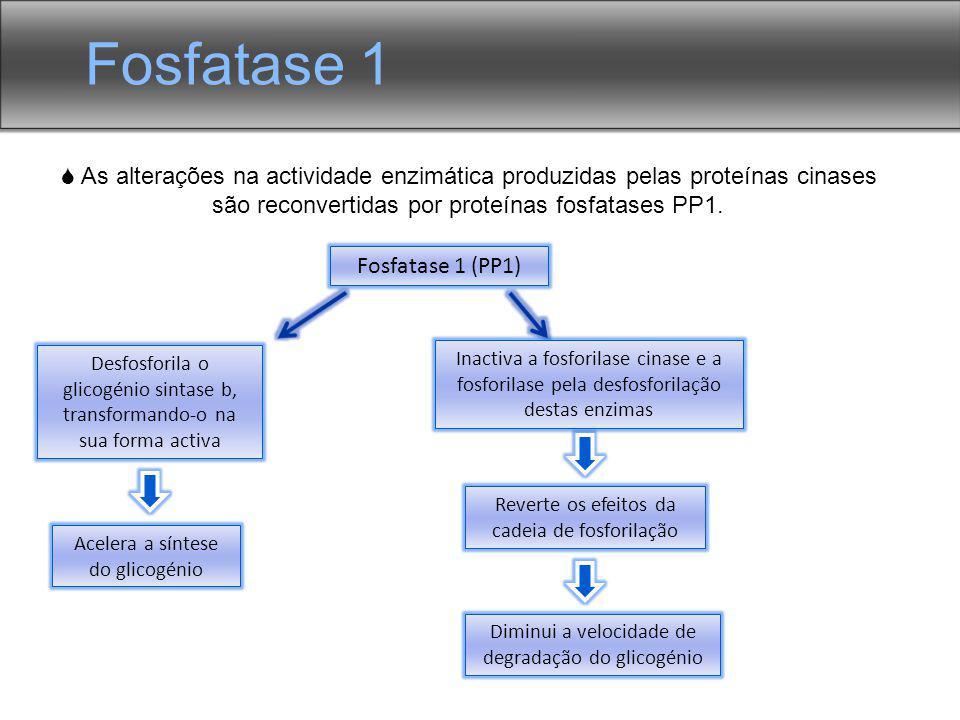 As alterações na actividade enzimática produzidas pelas proteínas cinases são reconvertidas por proteínas fosfatases PP1. Fosfatase 1 (PP1) Desfosfori