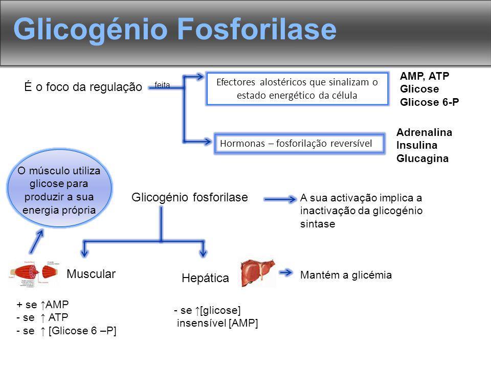 Glicogénio Fosforilase É o foco da regulação feita Hormonas – fosforilação reversível Adrenalina Insulina Glucagina Efectores alostéricos que sinalizam o estado energético da célula AMP, ATP Glicose Glicose 6-P Glicogénio fosforilase Muscular Hepática + se AMP - se ATP - se [Glicose 6 –P] - se [glicose] insensível [AMP] Mantém a glicémia A sua activação implica a inactivação da glicogénio sintase O músculo utiliza glicose para produzir a sua energia própria
