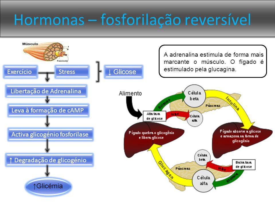 Hormonas – fosforilação reversível Libertação de Adrenalina Leva à formação de cAMP Activa glicogénio fosforilase Degradação de glicogénio Glicémia A