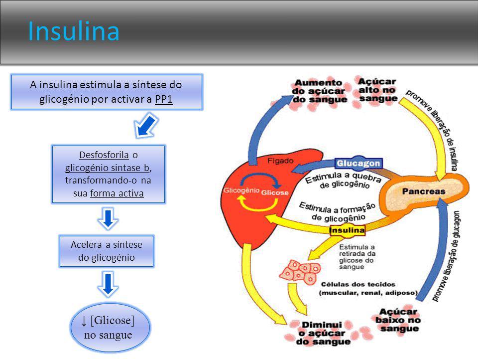 Insulina A insulina estimula a síntese do glicogénio por activar a PP1 Desfosforila o glicogénio sintase b, transformando-o na sua forma activa Acelera a síntese do glicogénio [Glicose] no sangue