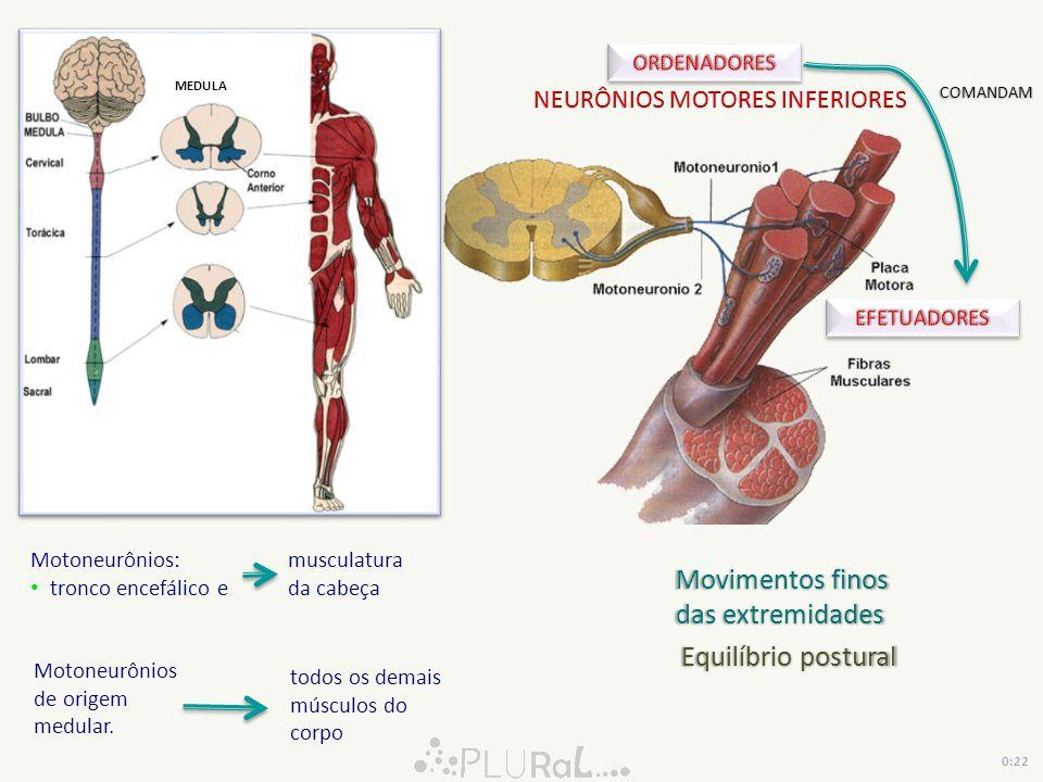 Equilíbrio postural MEDULA 0:22 Motoneurônios de origem medular. Movimentos finos das extremidades COMANDAM Motoneurônios: tronco encefálico e muscula