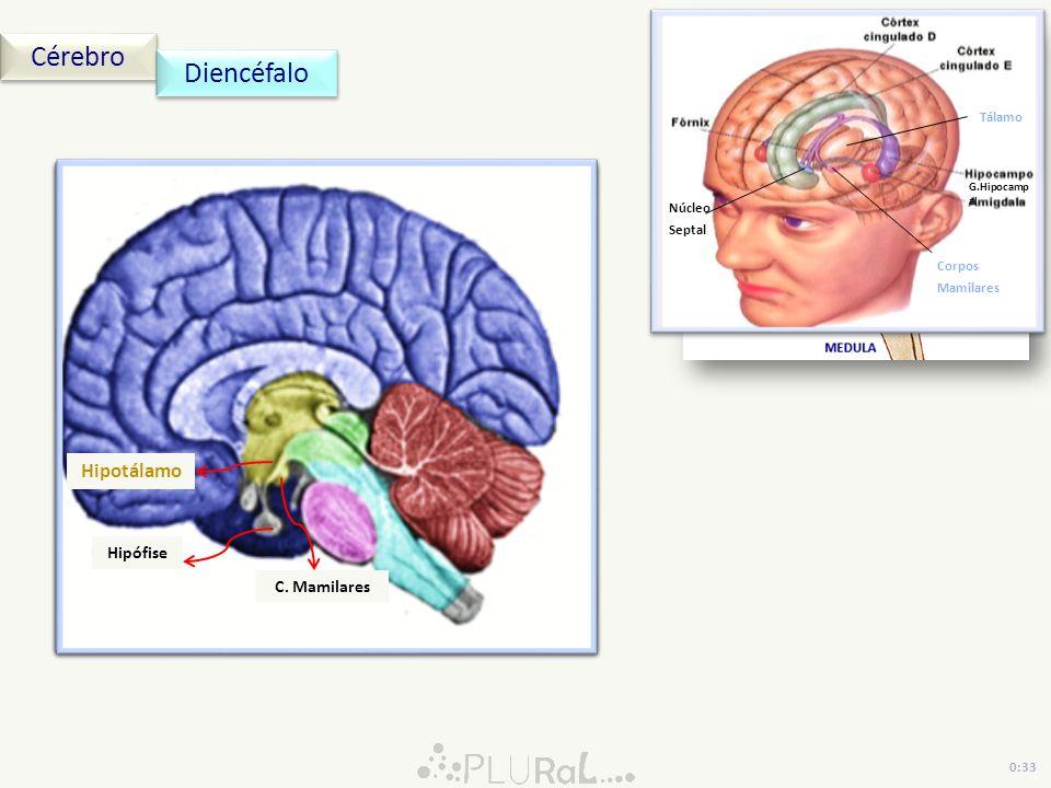 Cérebro Diencéfalo Núcleo Septal Corpos Mamilares Tálamo G.Hipocampal 0:33 Núcleo Septal Corpos Mamilares Tálamo G.Hipocamp al Tálamo Pineal Epitálamo