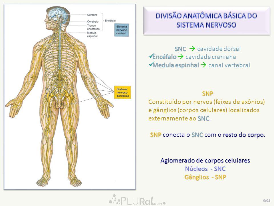 SNC SNC cavidade dorsal Encéfalo Encéfalo cavidade craniana Medula espinhal Medula espinhal canal vertebral SNP SNC Constituído por nervos (feixes de