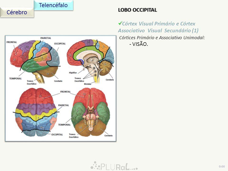 LOBO OCCIPITALLOBO OCCIPITAL Córtex Visual Primário e Córtex Associativo Visual Secundário (1) Córtices Primário e Associativo Unimodal: - VISÃO. Cére