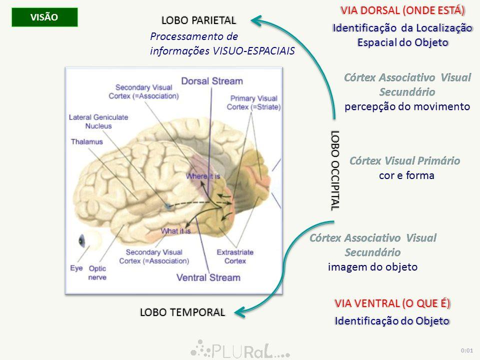 LOBO OCCIPITAL VISÃO VIA DORSAL (ONDE ESTÁ) Identificação da Localização Espacial do Objeto VIA VENTRAL (O QUE É) Identificação do Objeto LOBO PARIETA
