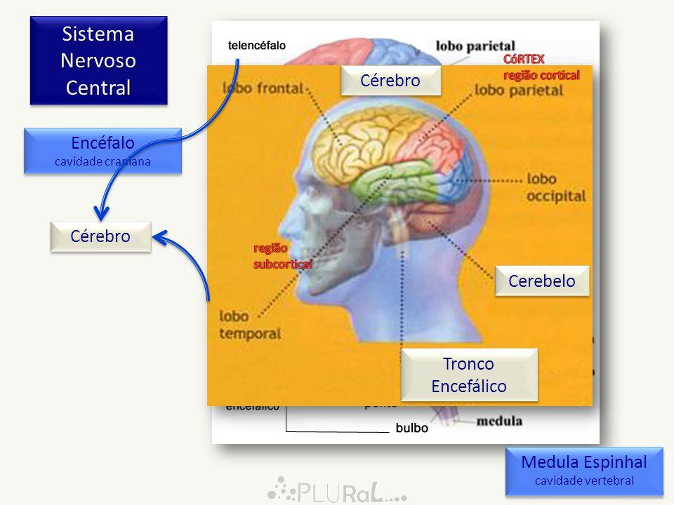 Sistema Nervoso Central 0:05 Encéfalo cavidade craniana Encéfalo cavidade craniana Medula Espinhal cavidade vertebral Medula Espinhal cavidade vertebr