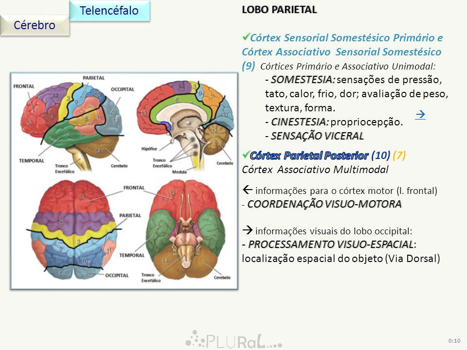 0:10 Cérebro Telencéfalo LOBO PARIETALLOBO PARIETAL Córtex Sensorial Somestésico Primário e Córtex Associativo Sensorial Somestésico (9) Córtices Prim