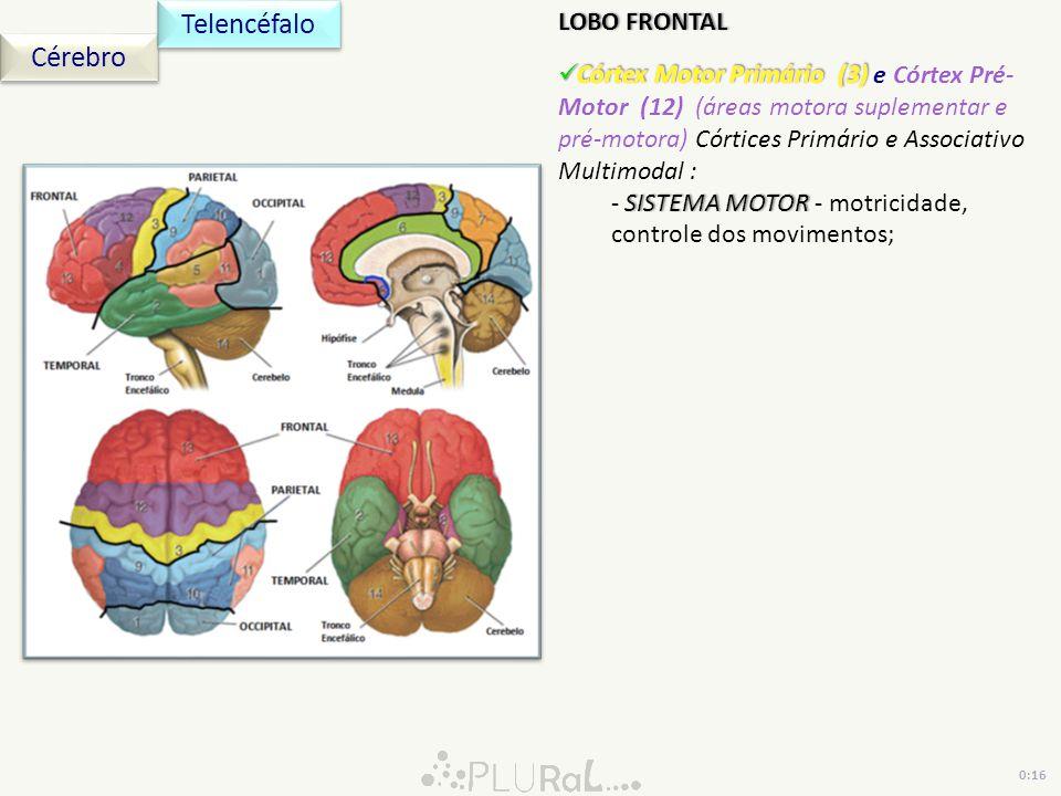 Cérebro Telencéfalo 0:16