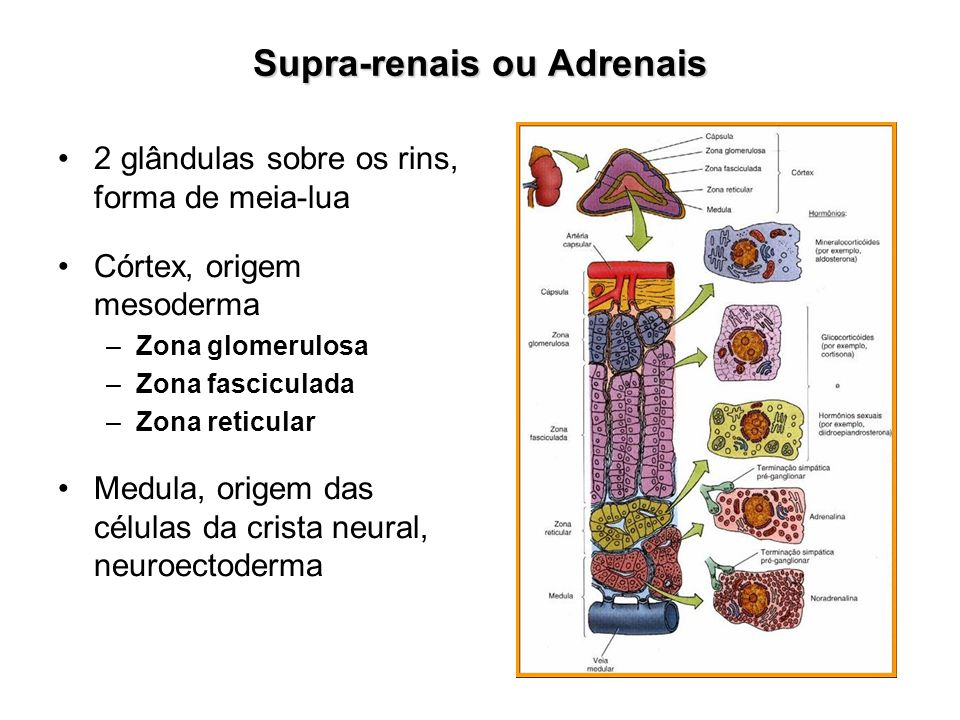 Supra-renais ou Adrenais 2 glândulas sobre os rins, forma de meia-lua Córtex, origem mesoderma –Zona glomerulosa –Zona fasciculada –Zona reticular Med