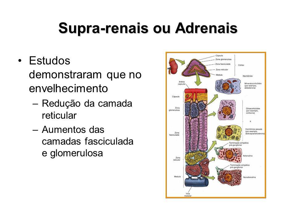 Supra-renais ou Adrenais Estudos demonstraram que no envelhecimento –Redução da camada reticular –Aumentos das camadas fasciculada e glomerulosa