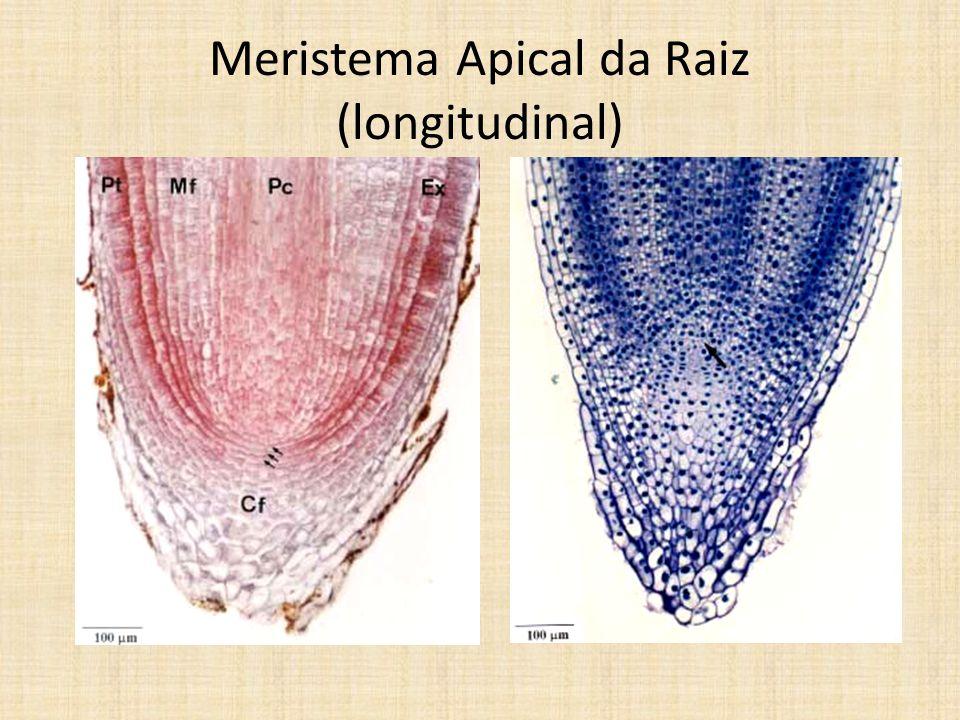 Meristema Apical da Raiz (longitudinal)