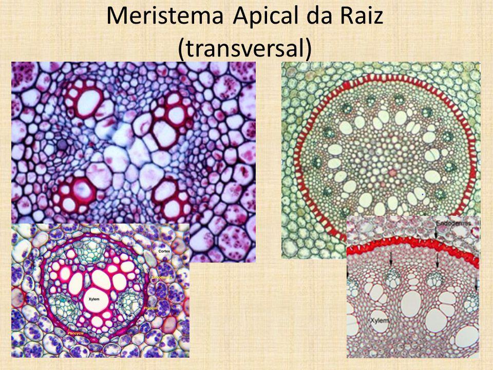 Meristema Apical da Raiz (transversal)
