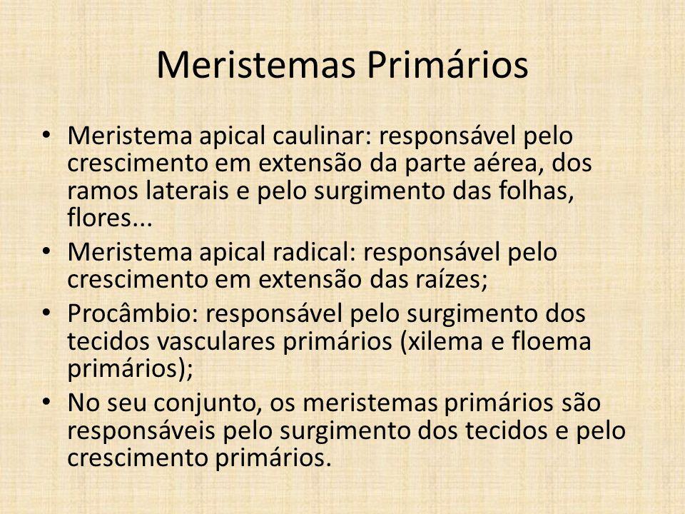 Meristemas Primários Meristema apical caulinar: responsável pelo crescimento em extensão da parte aérea, dos ramos laterais e pelo surgimento das folh