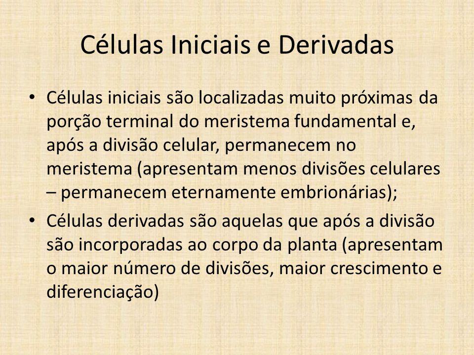 Células Iniciais e Derivadas Células iniciais são localizadas muito próximas da porção terminal do meristema fundamental e, após a divisão celular, pe