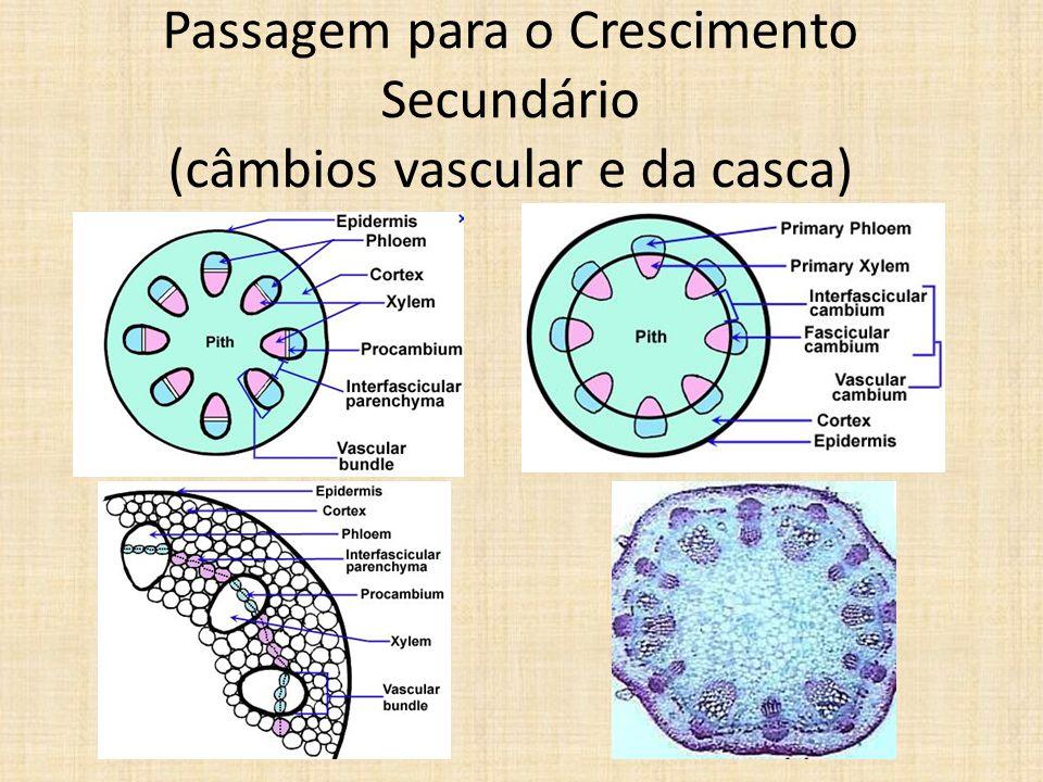 Passagem para o Crescimento Secundário (câmbios vascular e da casca)