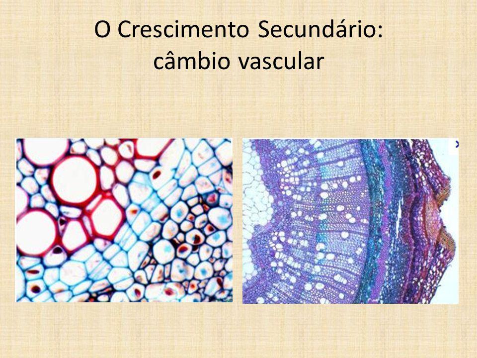 O Crescimento Secundário: câmbio vascular