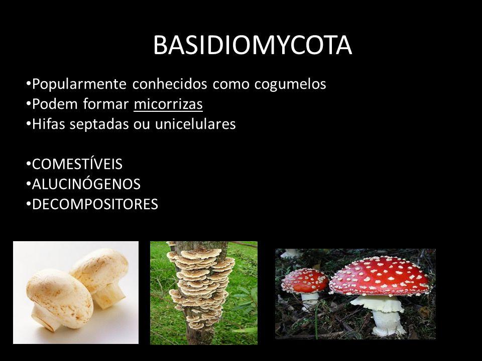 BASIDIOMYCOTA Popularmente conhecidos como cogumelos Podem formar micorrizas Hifas septadas ou unicelulares COMESTÍVEIS ALUCINÓGENOS DECOMPOSITORES