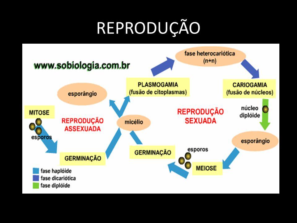 ZIGOMICETOS Utilizados na fabricação de molho de soja e esteróides para anticoncepcionais Hifas cenocítias Micorrizas Unicelular EX:Rhizopus stolonifer (bolor)