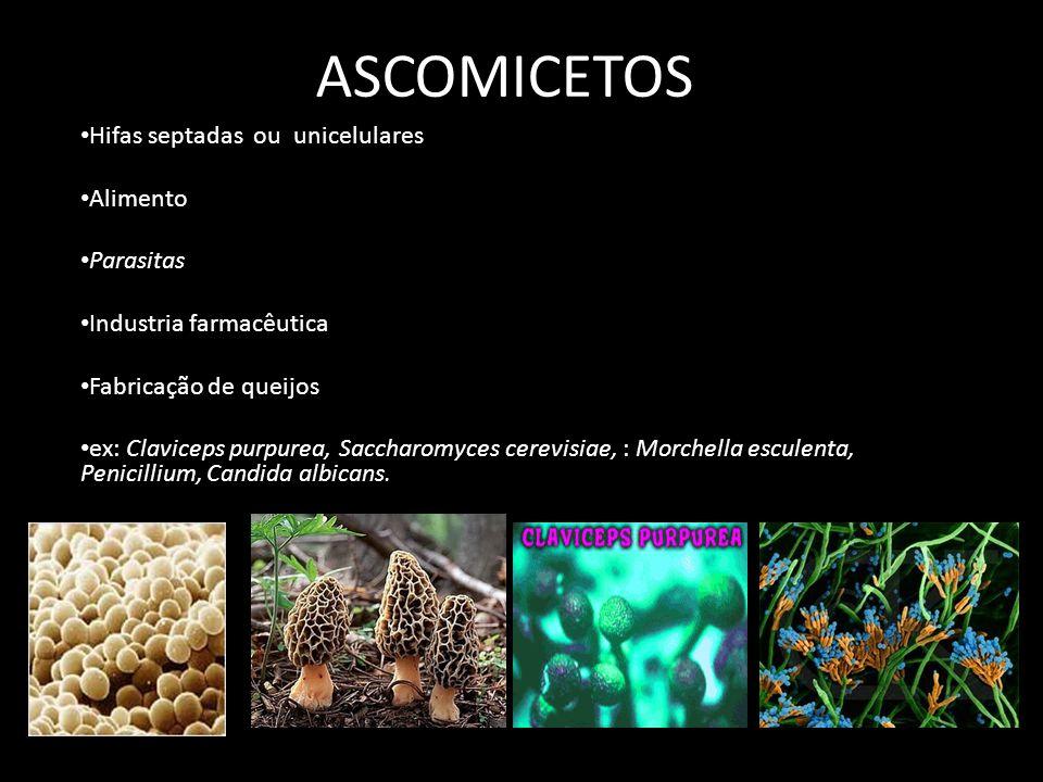 ASCOMICETOS Hifas septadas ou unicelulares Alimento Parasitas Industria farmacêutica Fabricação de queijos ex: Claviceps purpurea, Saccharomyces cerev