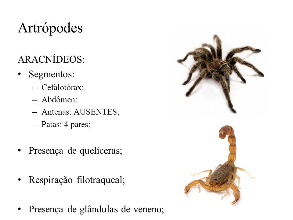 Artrópodes ARACNÍDEOS: Segmentos: – Cefalotórax; – Abdômen; – Antenas: AUSENTES; – Patas: 4 pares; Presença de quelíceras; Respiração filotraqueal; Pr