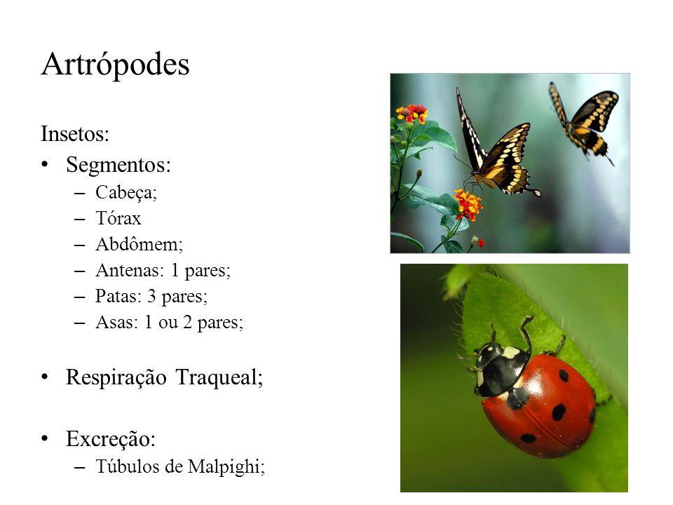 Artrópodes Insetos: Segmentos: – Cabeça; – Tórax – Abdômem; – Antenas: 1 pares; – Patas: 3 pares; – Asas: 1 ou 2 pares; Respiração Traqueal; Excreção: