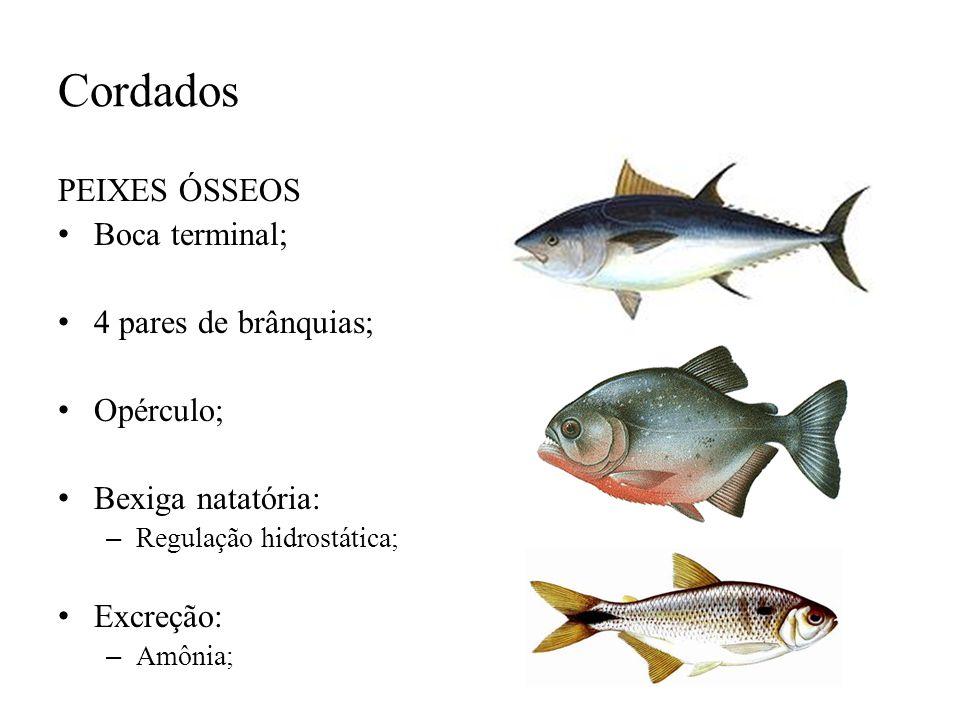 Cordados PEIXES ÓSSEOS Boca terminal; 4 pares de brânquias; Opérculo; Bexiga natatória: – Regulação hidrostática; Excreção: – Amônia;