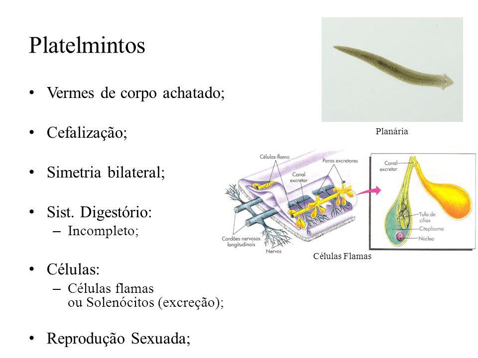 Platelmintos Vermes de corpo achatado; Cefalização; Simetria bilateral; Sist. Digestório: – Incompleto; Células: – Células flamas ou Solenócitos (excr