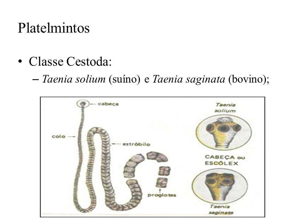 Platelmintos Classe Cestoda: – Taenia solium (suíno) e Taenia saginata (bovino);
