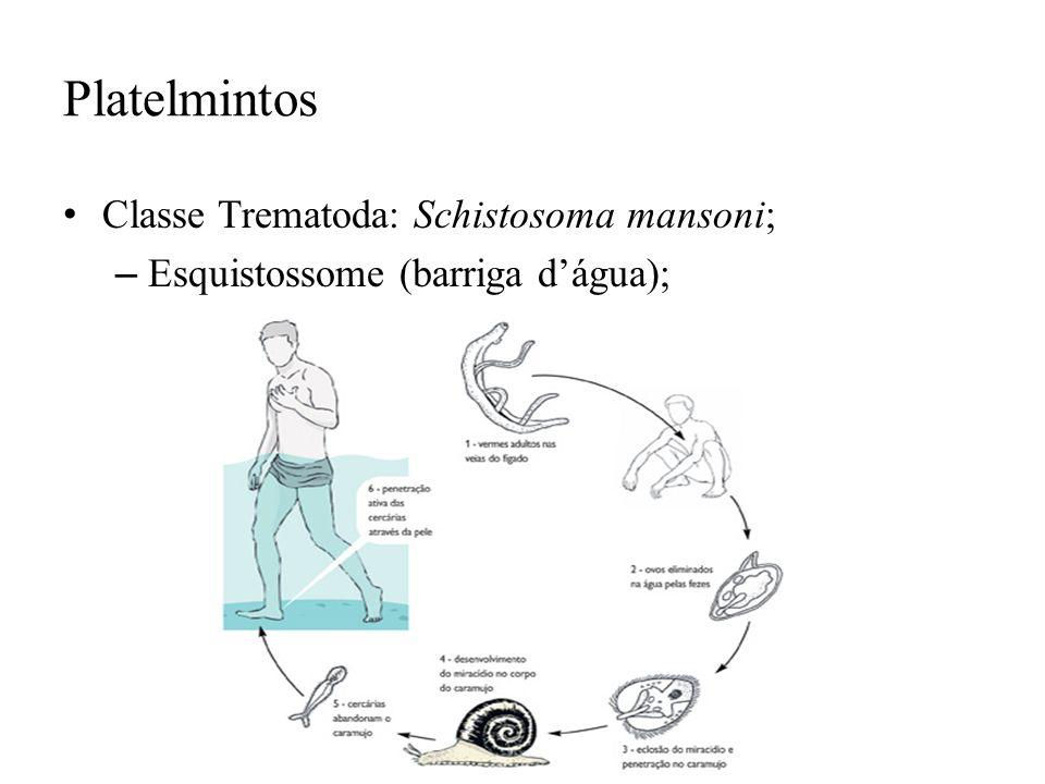 Platelmintos Classe Trematoda: Schistosoma mansoni; – Esquistossome (barriga dágua);