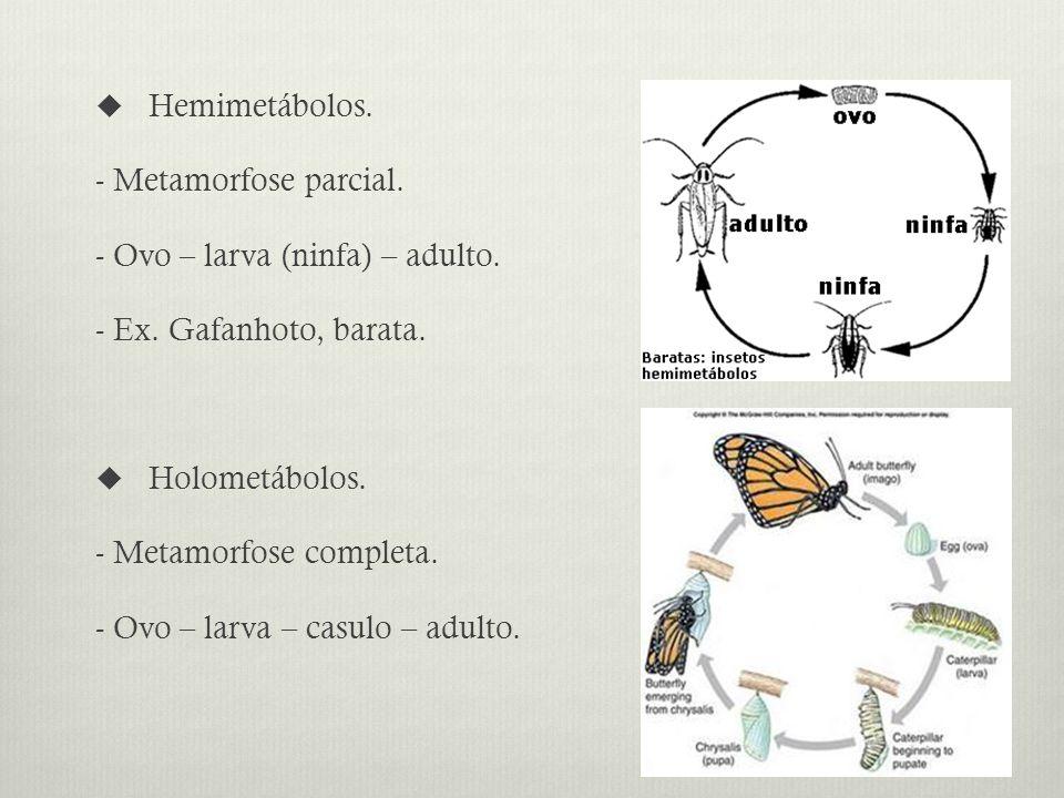 Hemimetábolos.- Metamorfose parcial. - Ovo – larva (ninfa) – adulto.