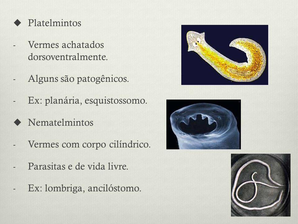 Platelmintos - Vermes achatados dorsoventralmente.