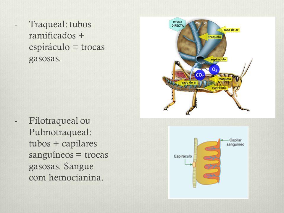 - Traqueal: tubos ramificados + espiráculo = trocas gasosas.