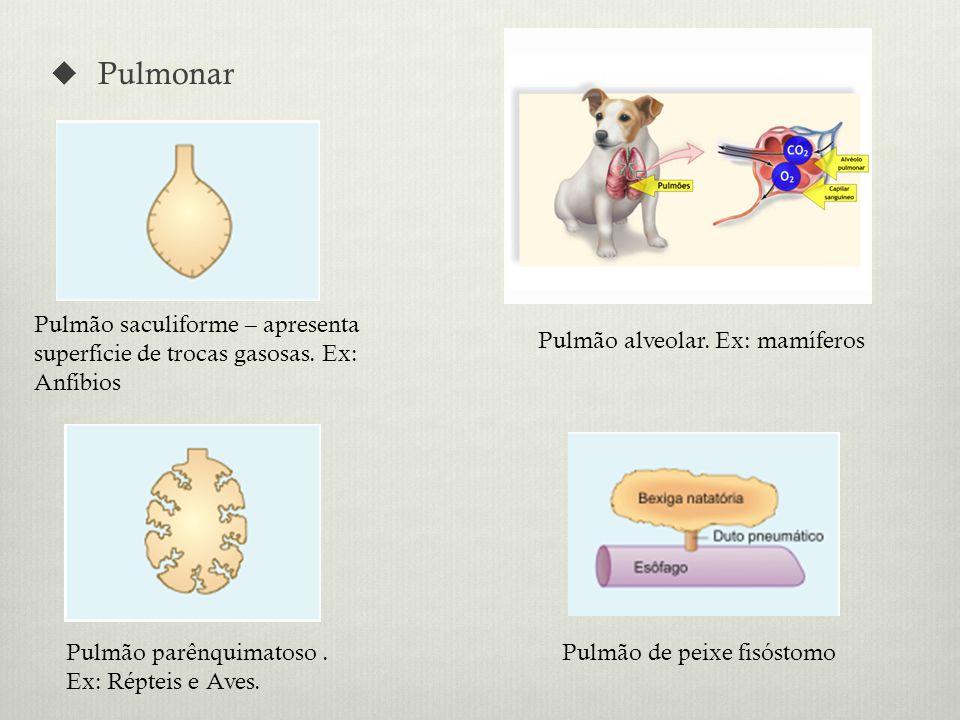 Pulmonar Pulmão alveolar.