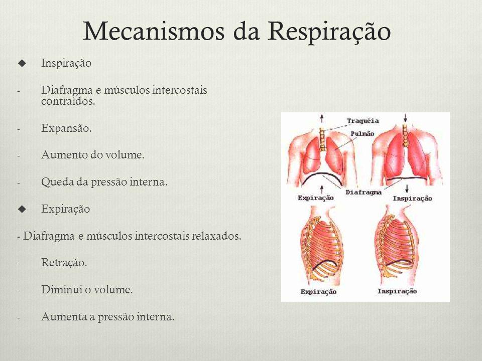 Mecanismos da Respiração Inspiração - Diafragma e músculos intercostais contraídos.