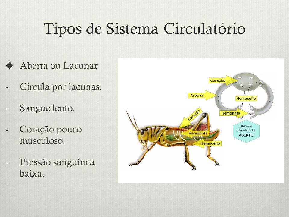 Tipos de Sistema Circulatório Aberta ou Lacunar.- Circula por lacunas.
