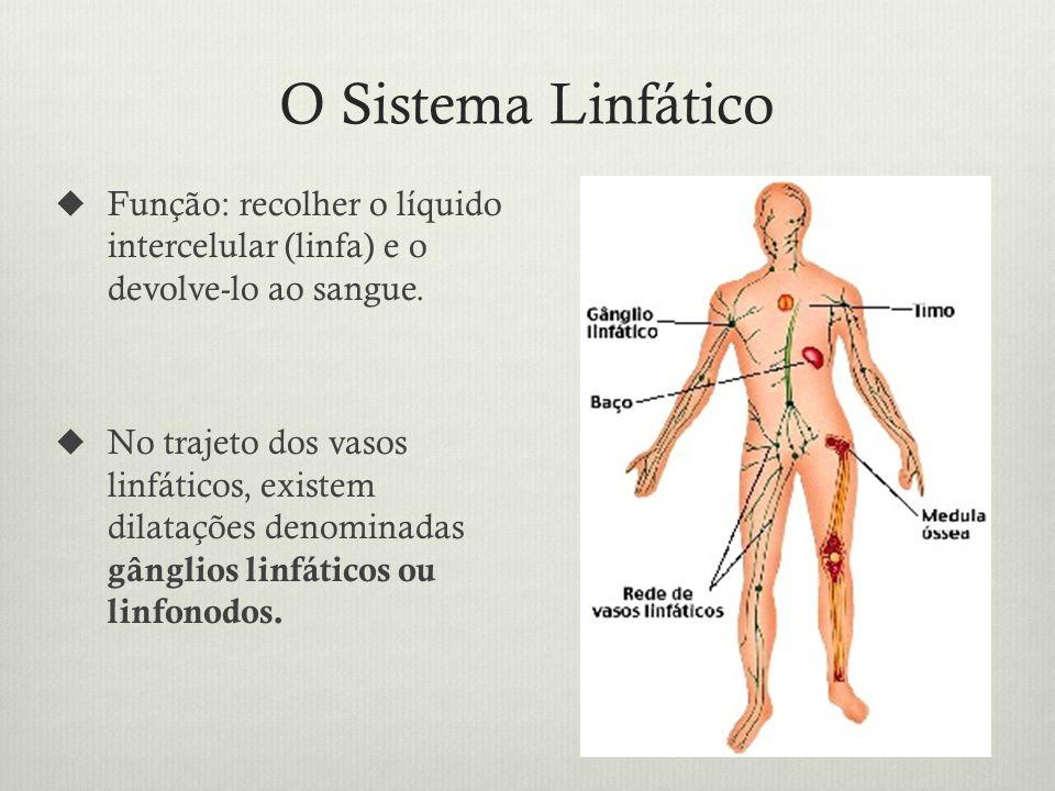 O Sistema Linfático Função: recolher o líquido intercelular (linfa) e o devolve-lo ao sangue.