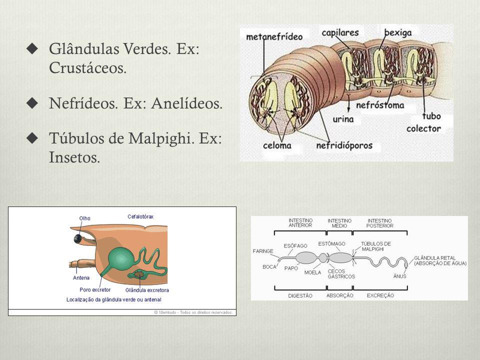 Glândulas Verdes. Ex: Crustáceos. Nefrídeos. Ex: Anelídeos. Túbulos de Malpighi. Ex: Insetos.